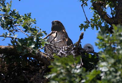 Red Tail Hawk and Baby