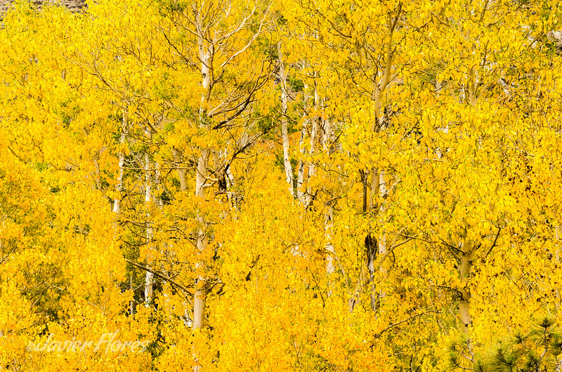 Yellow Aspens