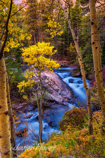 Aspens trees along Lee Vining Creek during the Fall