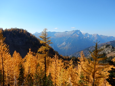 Larches in Autumn