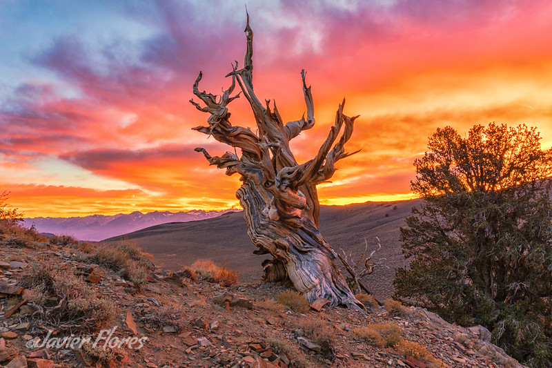 Sunset at the Ancient Bristlecone Pine Forest