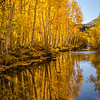 Backlit aspen trees along Bishop Creek