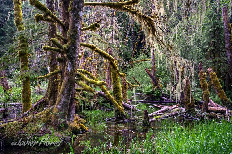 Mount Rainier Woodland