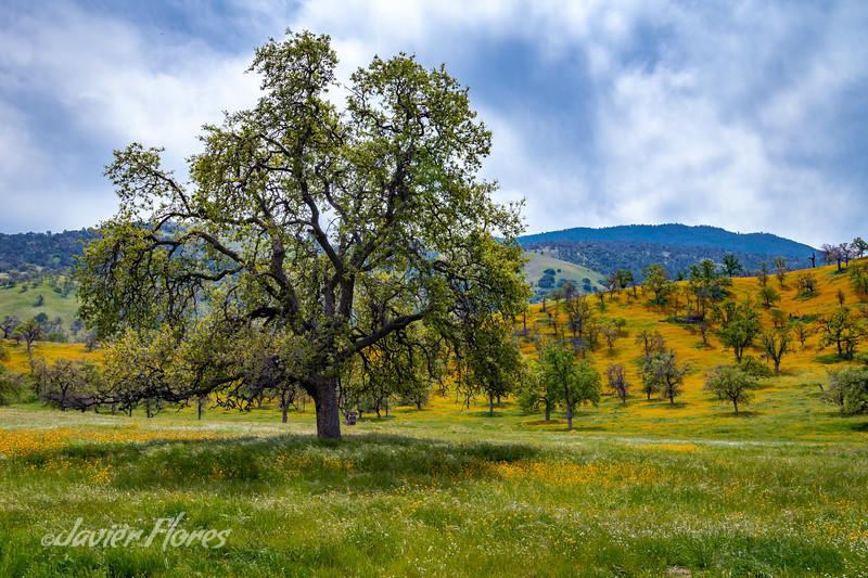 Oak Tree with wildflowers, HWY58