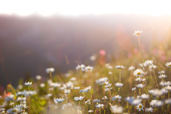 Wild Daisies in the morning