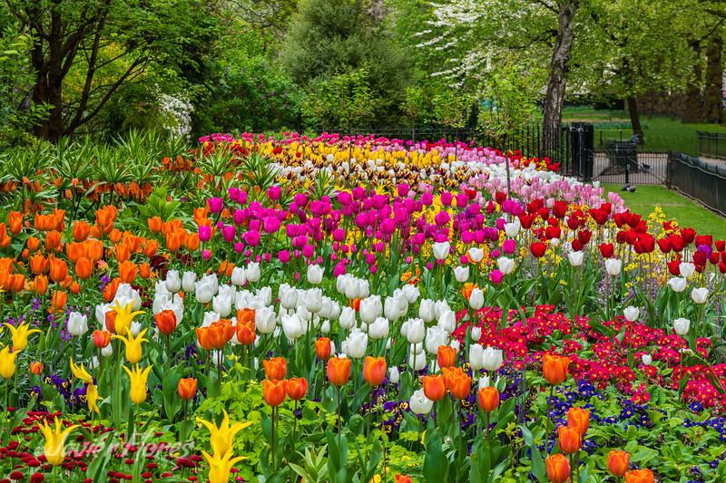 St. James Park Tulips