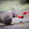 Squirrel Shopping