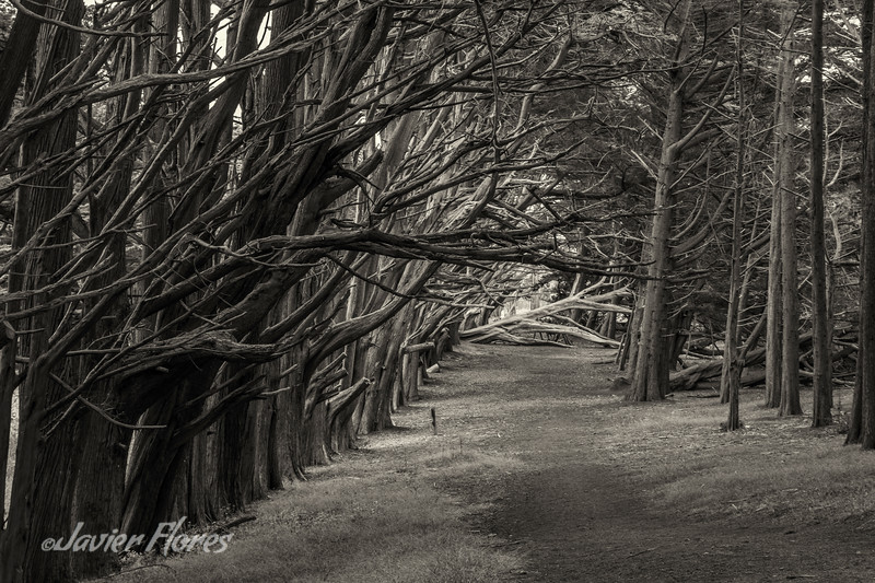 Tree Path, Half Moon Bay