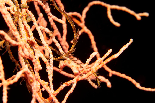 Zwerg-Seepferdchen, Papua Neu Guinea, Pazifik / pygmy seahorse, Papua New Guinea, Pacific (Hippocampus denise)