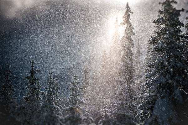 Snow falling in the sunshine with light filtering through the trees, Whitewater ski area, Kootenay region, BC, Canada