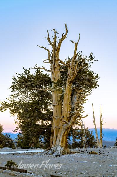 Ancient Bristlecone Pine Tree, White Mountain CA