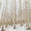 Winter Aspens - Painting #2