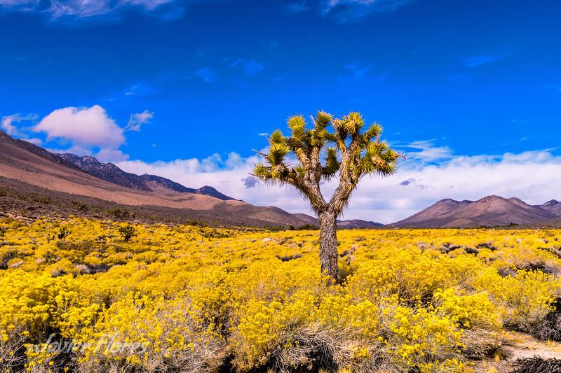 Joshua tree in yellow fields