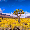 Joshua tree in yellow fields