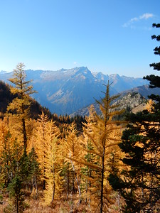 Larches in the Fall
