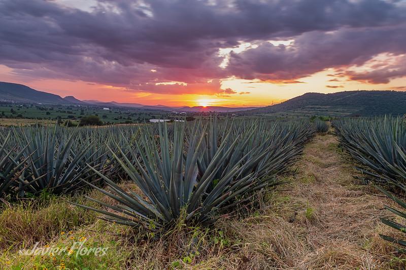 Blue Agave Fields, Jalisco