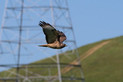 Red Tail Hawk in Action