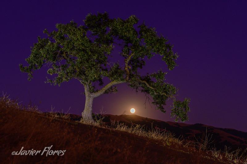 Oak Tree With Moon Rising
