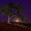 Oak Tree With Moon Rising
