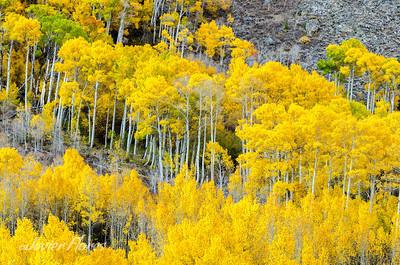 Yellow Aspens