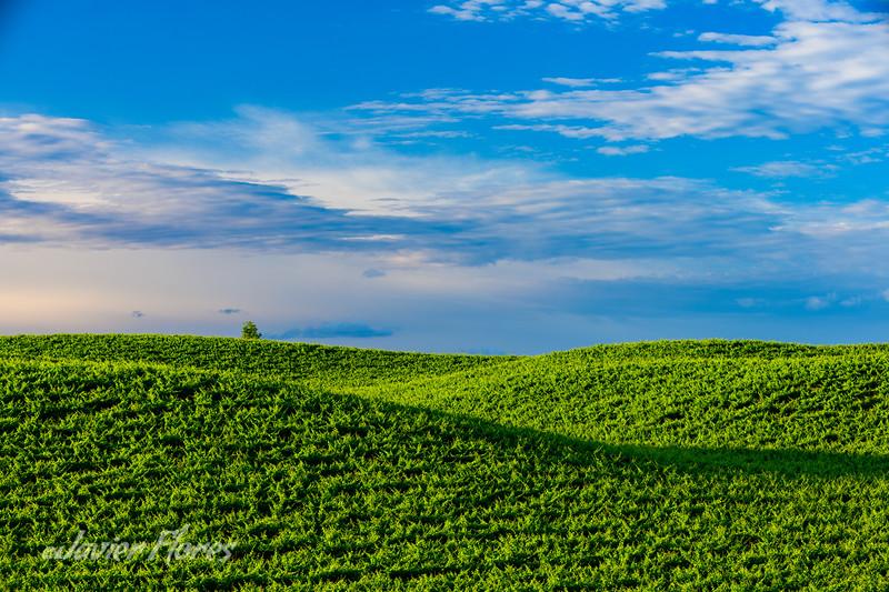 Yolo County Vineyards