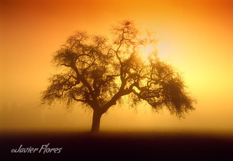 Silhouette of Oak Tree at Sunrise