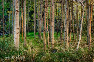 Aspen tree grove in Lee Vining Canyon
