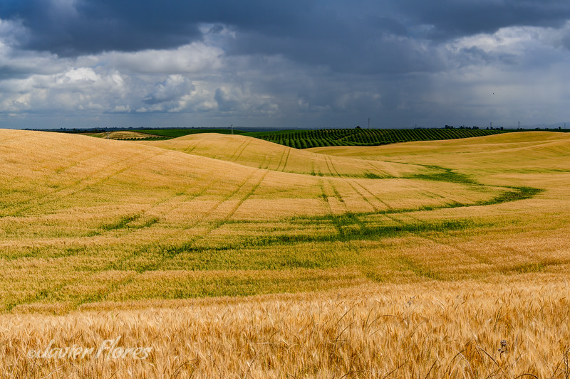 Wheat fields in Yolo County with dramatic thunderstorm clouds.