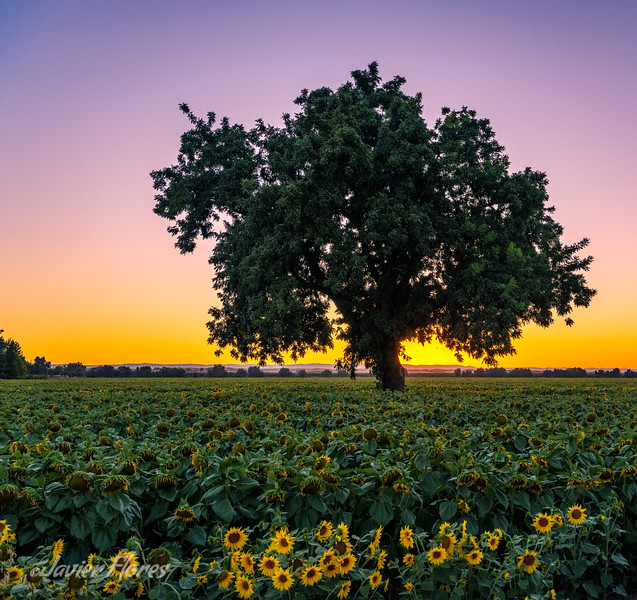 Field of sunflowers at sunset