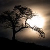 Oak Tree Silhouette
