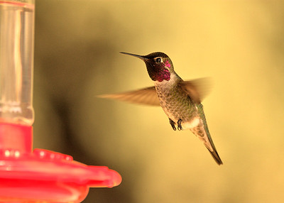 Hummingbird Coming in for a Landing