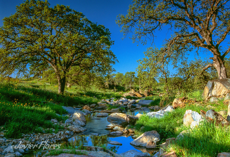 Oak trees along creek