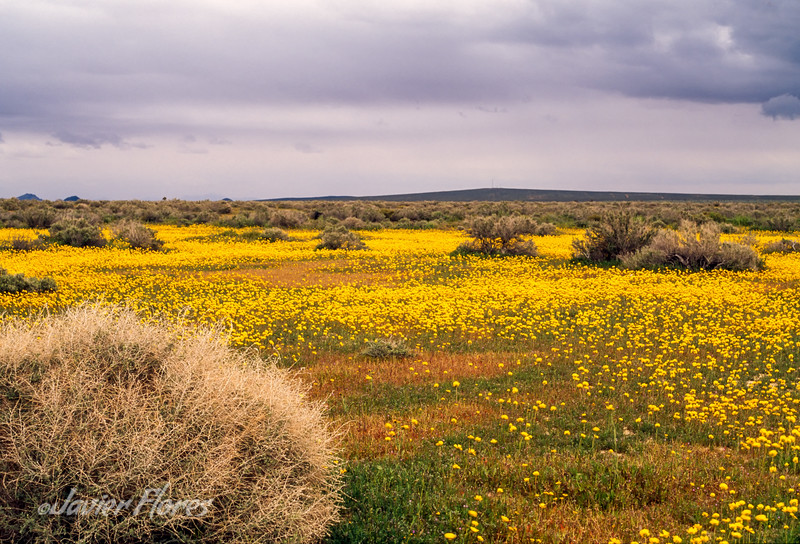 Mojave Desert Spring Bloom
