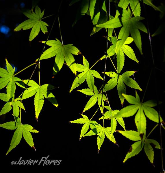 Backlit Green Leafs