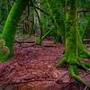 Redwoods After a Storm