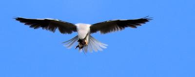 White Tail Kite Catches a Rat