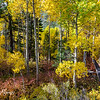 Aspen trees in fall colors