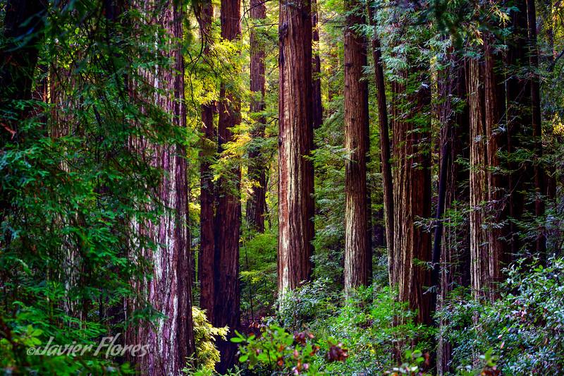 Towering Redwoods at Muir Woods