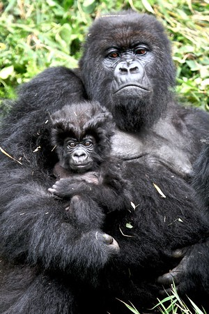 A gorilla mother and baby in Volcanoes National Park, Rwanda