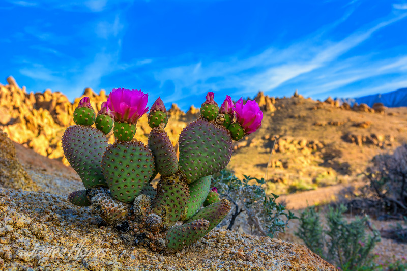 Cactus Flower In Bloom