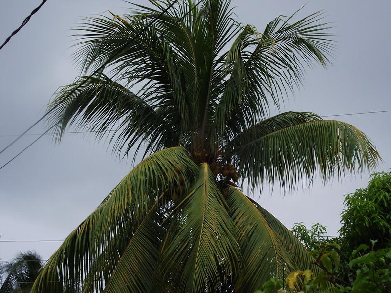 Caribbean coconut tree