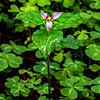 Pink Trillium Flower