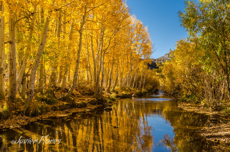 Glowing Aspens at Bishop Cre