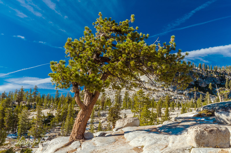 Pine tree in Yosemite