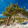 Pine tree in Yosemite