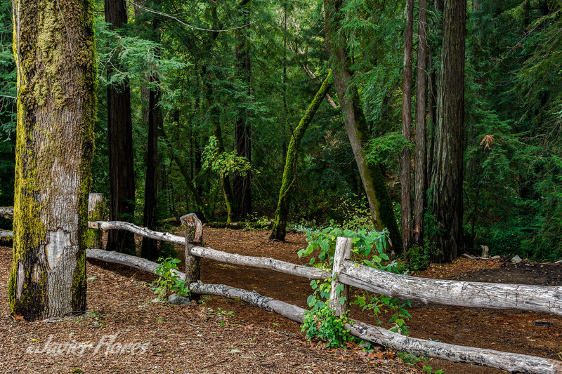 Redwoods and Rustic Fence