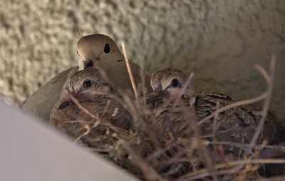 A Mother Dove with her babies.