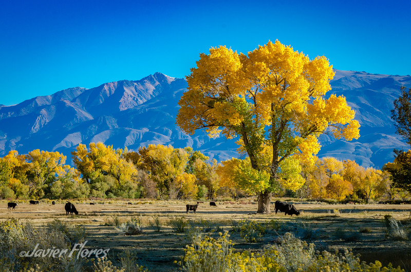 Yellow Tree, Bishop CA.