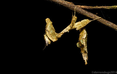Dead leaf mantis, Acanthops sp., from Panama.