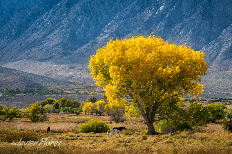 Cottonwood tree in Round Valley with horses
